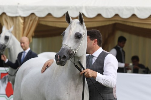 2017 Abu Dhabi International Arabian Horse Festival