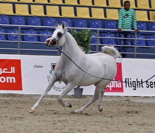 2017 Sharjah International Arabian Horse Festival - photo Claire Reignaud - Khamilah Albidayer